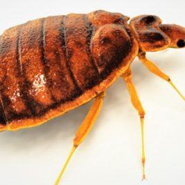 Punaises de lit :comment réagir en cas d'infestation de ces insectes ?
